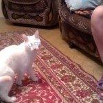 Duivelse witte kat